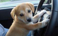 4750-1616523267-puppy-driving.jpg
